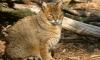 Следующим из зоопарка в Уссурийске на вертолете МЧС полетит камышовый кот
