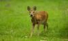 Фотоловушка в Приморье впервые сфотографировала оленя с клыками