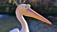 Под Петербургом заметили розового пеликана из Красной ...