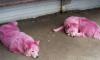 Розовых самоедских собак отправят в питомник Минобороны