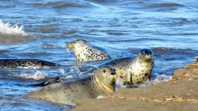 На Воскресенской набережной нерпы научились воровать корюшку из рыболовных сетей