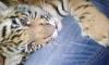 Петербуржцы продают в интернете макак, страусов и тигров