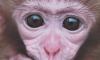 Россия готовит обезьяну Клепу к героической высадке на Марс
