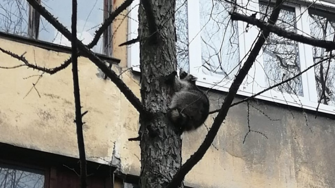 На Суздальском спасатели сняли с дерева агрессивного енота