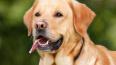 Домашняя собака покусала двухлетнюю девочку в Петербурге