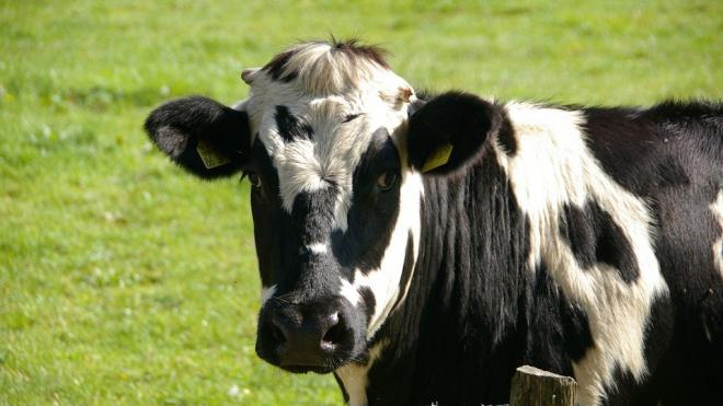 Коров предложили сделать светлее для адаптации к изменениям климата