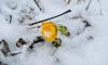 На пустыре в Коломягах в снегу зацвела мать-и-мачеха