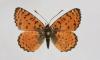 Внимательные профессор и выпускники СПбГУ нашли новый вид бабочек в Израиле