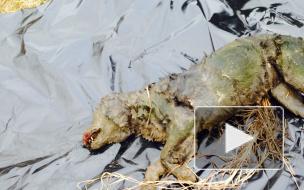 Под Петербургом догхантер обзавелся оружием и расстреливает собак, разложившиеся трупы которых находят дети