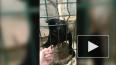 Смешное видео: в петербургском зоопарке обезьяна лишила ...
