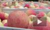 На Площади Искусств сегодня раздали 1500 килограммов яблок