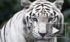 В Тбилиси застрелили белого тигра, растерзавшего человека