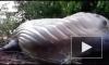 Мистика: В Бразилии в лесной чаще обнаружен огромный горбатый кит