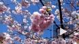 Сакуры зацвели в Ботаническом саду Петербурга