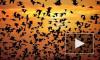 В США пытаются разгадать тайну массовой гибели черных дроздов