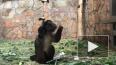У капуцинов Ленинградского зоопарка родился первый ...