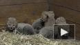 Милое видео из Праги: В зоопарке родились 5  детенышей ...