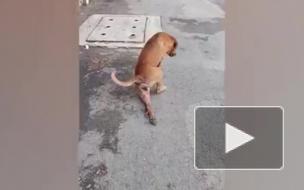 Видео из Бангкока: Бродячая собака притворяется израненной, чтобы выпросить еду у прохожих