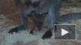 Видео: малыш-кенгуренок из Ленинградского зоопарка ...