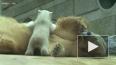 В немецком зоопарке показали сестру знаменитого медведя ...