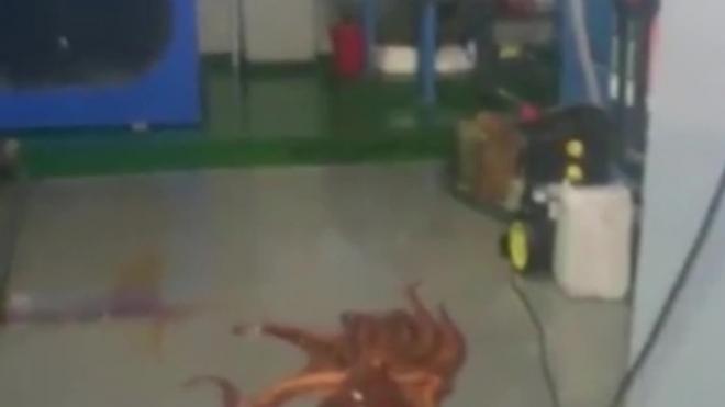 Забавное видео из Владивостока: гигантский осьминог сбежал из океанариума