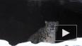 Видео: Снежный барс призывает в Москву весну
