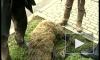 Семилетний сын Стерлигова зарезал барана в центре Москвы для Курбан-байрама