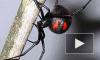 Ядовитые пауки-каракурт атаковали Волгоград. 15 человек в реанимации после укусов