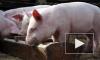 В колонии на Сахалине в выгребной яме свинарника нашли тела двух заключенных