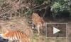 Страшная трагедия: в Китае тигры загрызи посетителя зоопарка