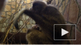 Ленинградский зоопарк показал новорожденного гиббона