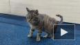 Кот-воришка из Владивостока обрел новый дом и оказался ...
