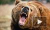 Медведь откусил руку женщине в томской шашлычной