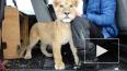Активисты из Петербурга выкупили львенка у бездушного ...