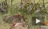 В ЮАР лев украл у грифов украденную у гепарда добычу