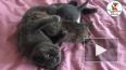 В Уссурийском зоопарке домашняя кошка выкормила рысенка
