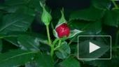 Как распускается роза