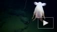У берегов США сняли на видео редкого ушастого осьминога ...