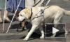 Собаку-поводыря, украденную у слепой москвички, нашел Следственный Комитет