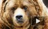 По улицам Нижневартовска гоняли медведя