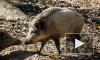Дикие звери наступают: В Петербурге появятся предупреждающие о кабанах и лосях знаки