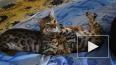 Кошки общаются между собой при помощи бактерий