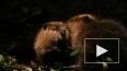 Видео из США: Бобры пришли в магазин за скидками