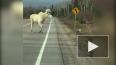В Онтарио на видео засняли двух белоснежных лосей