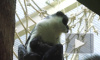 Впервые за 15 лет в Московском зоопарке родилась краснокнижная мартышка диана