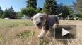 В Якутии предложили ввести налог на собак