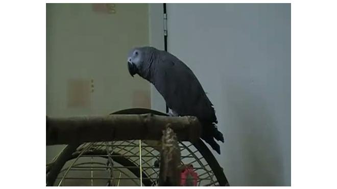 Попугай-пародист