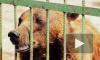 Бессердечные живодеры душили медведицу Тоню железной цепью и морили голодом