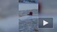Появилось видео спасения собаки на дрейфующей льдине ...