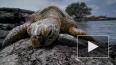 Выяснилось, почему морские черепахи едят грязный пластик...